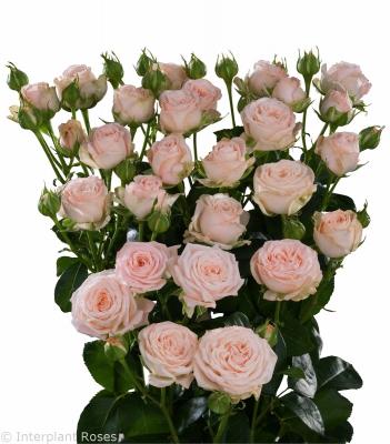 pink spray roses premium Bombastic