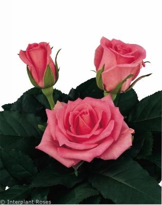 hybrid tea rose characteristics intermediate Boogy