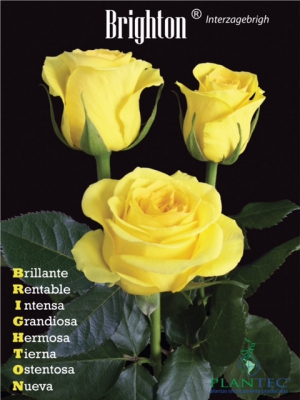 Promo Interplant variety South America