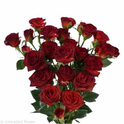 spray roses breeding Brown