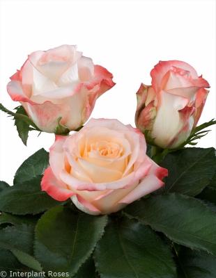 tea rose manual pollination Cabaret