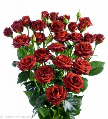 orange premium spray roses Chococcino