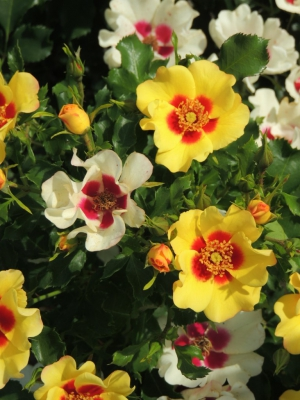 Breeder Interplant Leersum Garden Roses