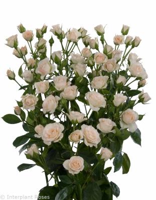 spray roses cream