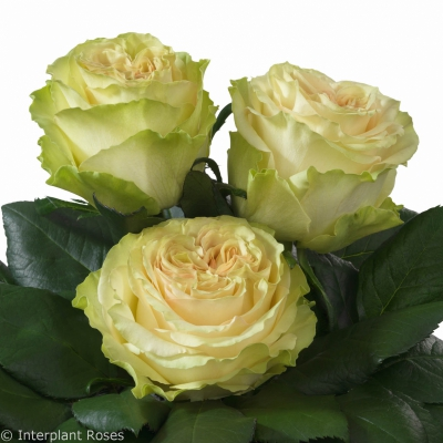 Interplant Roses breeder Garden Shaped Roses
