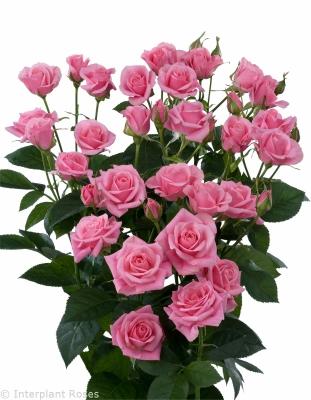 spray rose breeder Holland Eileen