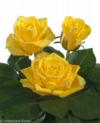 medium stem rose varieties Elevation