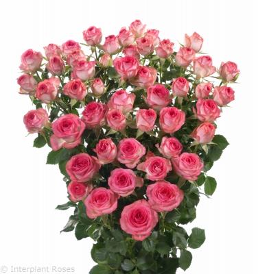 pink spray roses premium Fabiola