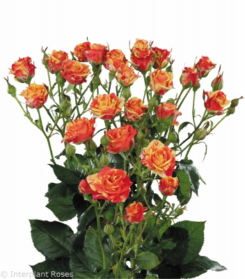 long stemmed spray roses Fire