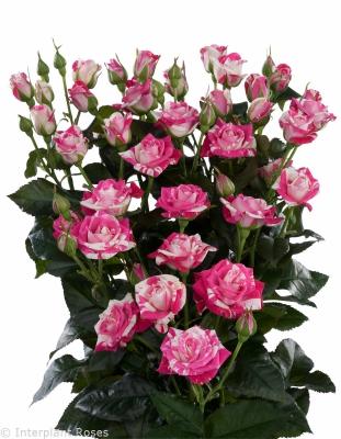 spray roses supermarkets Flash