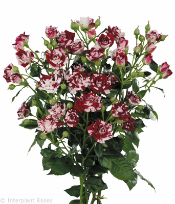 bi color spray roses Flash