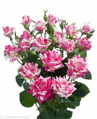 spray rose hybridization Flashing