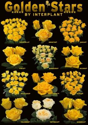 Interplant breeder of a large range of yellow rose varieties