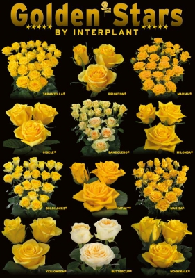 Interplant breeder of a large range of yellow rose varieties