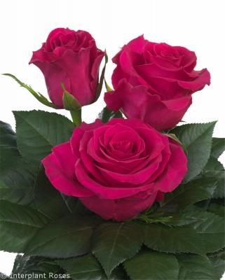 Gotcha trademark roses hybrid tea