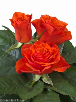 Inteplant Roses Hybrid Tea breeder