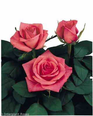 crossbreeding sweetheart roses Image