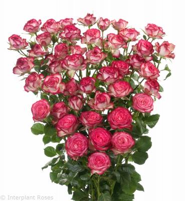 premium spray rose breeders Imara