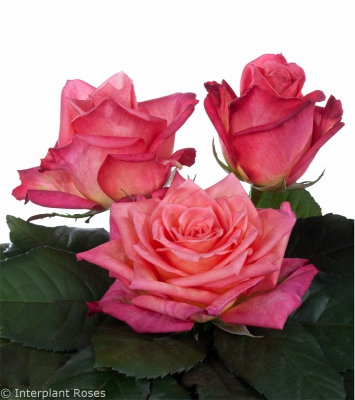 hybrid tea rose breeders Jaipur