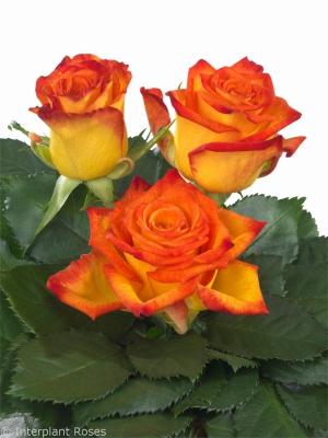 Intermediate Hybrid Tea Rose Breeder Interplant