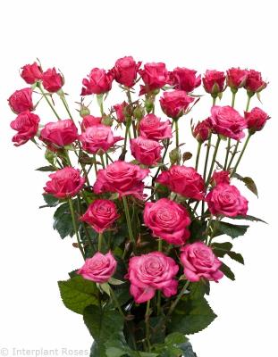 spray rose hybridization Kylie