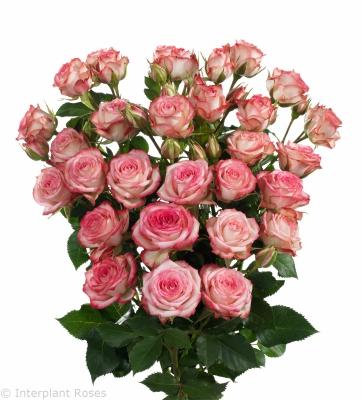 long stemmed spray roses Leila
