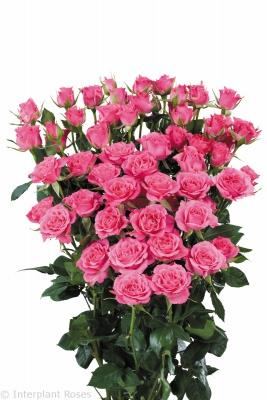 Regular Spray Rose, Lianne