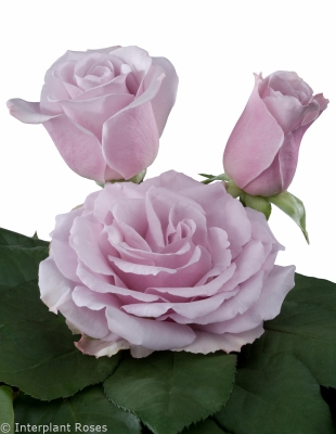 fragrant rose breeders Lilac