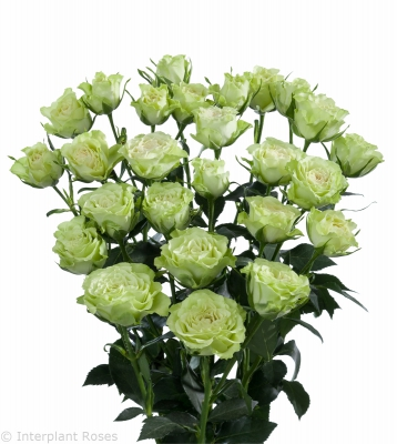 premium spray roses white Luviana
