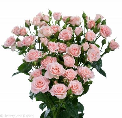 spray rose cultivation Lydia 2