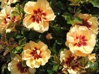 Interplant breeder of garden roses