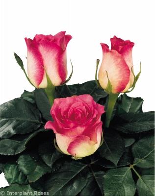 rose pollination hybrid tea rose Malibu
