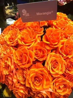 Interplant Roses breeder Intermediate Hybrid Tea Roses