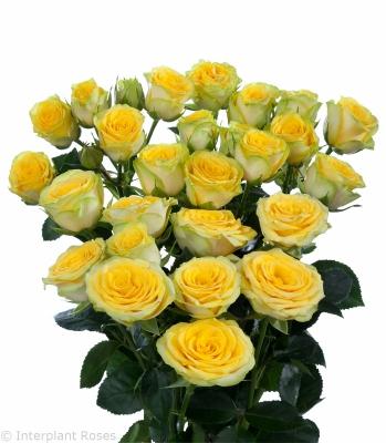 spray rose characteristics Morito