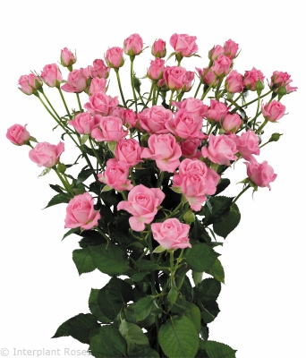 long stemmed spray roses Nathalie