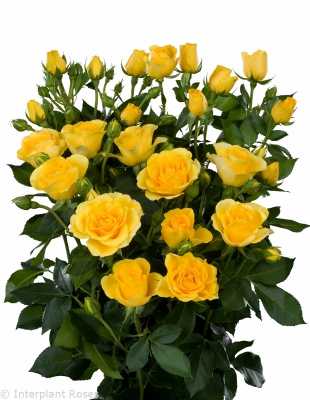 yellow spray roses Palme