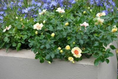 Breeder Interplant Garden Roses