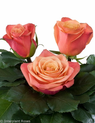 hybrid tea rose breeding Picanto