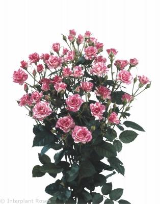 cross polination spray roses Pink