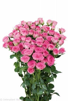 spray roses long vase life Pink