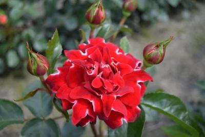 Interplant breeder Ruffle Roses