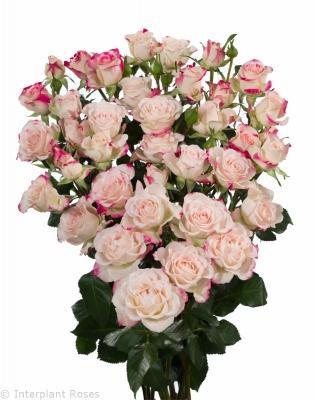 spray rose seedlings Reflex
