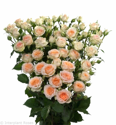cross polination spray roses Rosanella