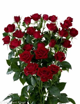 spray rose breeders Holland Rubicon