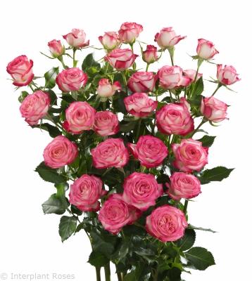 pink spray roses Safina