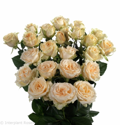yellow spray roses Salinero