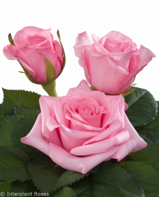 hybrid tea rose characteristics intermediate Sanoli