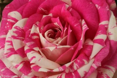 Close up Interplant Spray Rose Flashing