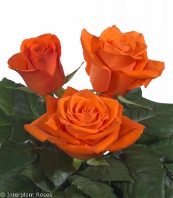 hybrid tea rose varieties Spritz