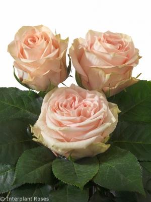 Interplant Breeder Intermediate Hybrid Tea Rose